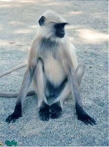 08 Monkey (Ranakpur)