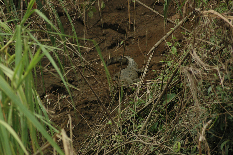 Another supposedly hard-to-find animal along the river...  A crocodile