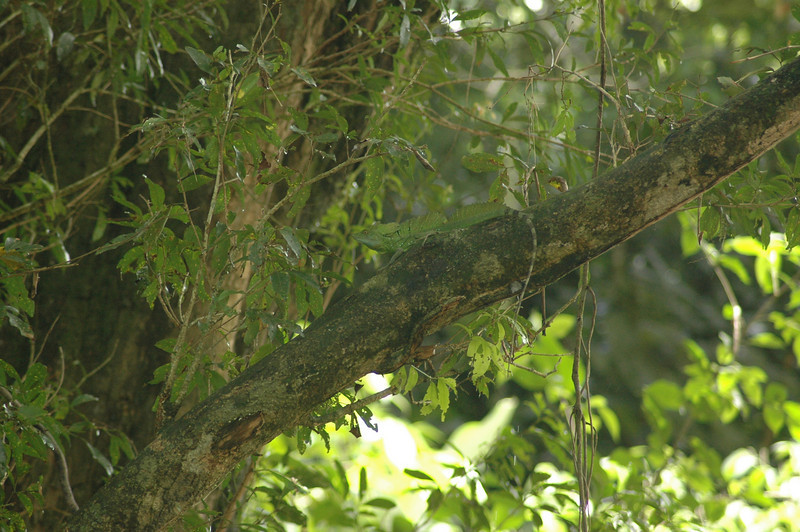Despite our guide pointing to this Emerald Basilisk, it still took me time to find it amid the greenery