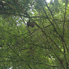 The 3-toed sloth was high above the river in a tree.