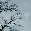 """Not the same """"strange fruit"""" Billie Holiday sung about.  These are Howler Monkeys in a tree near our room.  (and we heard them every morning)"""