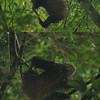 A 3-toed sloth is supposedly hard to see.  We saw two on our trip.  Here are two photos of the first one.