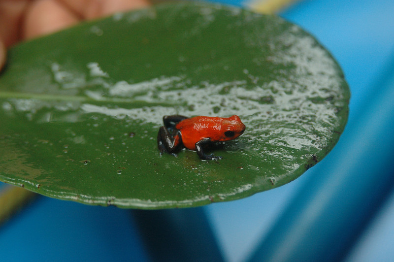 Our guide made it easy by getting out of the boat and going to find a Point Dart Frog