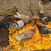 They feed the Green Tree Iguanas in the park, but the pigeons obviously get what they can.