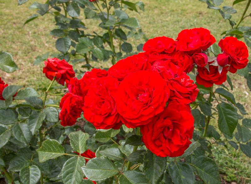 Rome - Rose Garden-4417