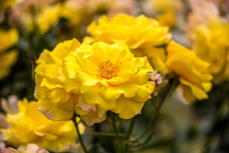 Rome - Rose Garden-4419