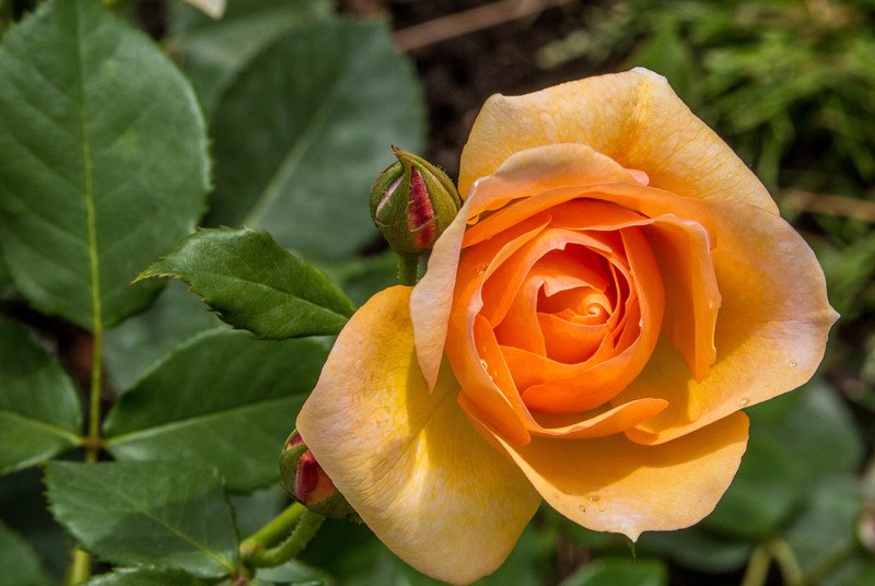 Rome - Rose Garden-4402