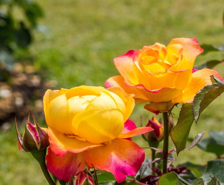 Rome - Rose Garden-4400