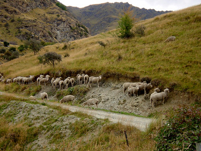Sheep viewing during a bike ride from Queenstown to Arrowtown