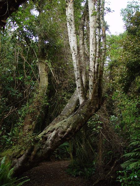 New Zealand rain forest, Pounawea, Otago, New Zealand.<br /> Sony F707
