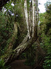 New Zealand rain forest, Pounawea, Otago, New Zealand.<br /> Sony F707