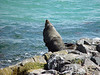 Sea Lion at the Royal Albatross Colony