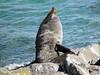 Sea Lion at the Royal Albatross Colony