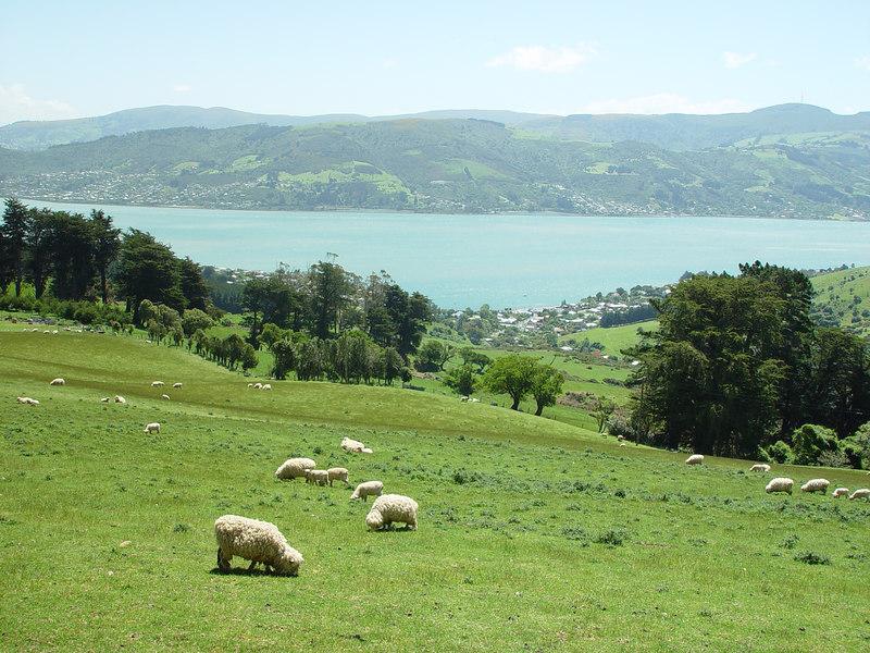 Sheep, Otago peninsula