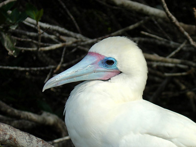 Young red-footed boobie on Genovesa Island. Boobies received their name by allowing them to be captured while asleep.