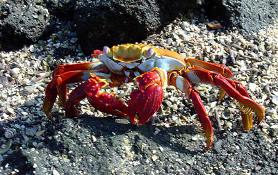 Sally lightfoot crab on Fernandina Island.  It is one of the many charismatic species that inhabits the Galápagos Islands, and is often seen in photos of the archipelago, sometimes sharing the seaside rocks with the marine iguanas.