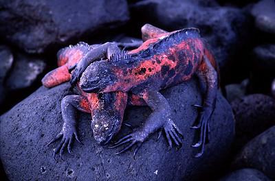 Red iguanas
