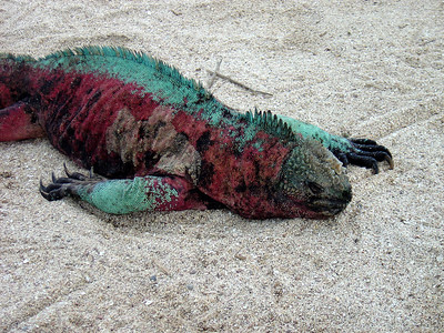 Red-green iguana on Espanola Island. Marine iguanas on Española are the only ones that change color during breeding season.