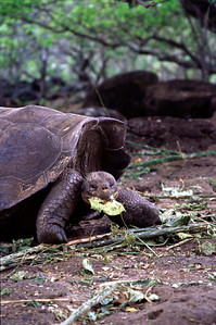Galapagos tortoise (lunch time in 2004)