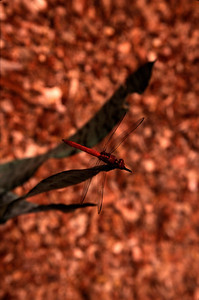 Beautiful drafonfly (2004)