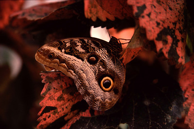 Butterfly (Sacha Lodge has a butterfly farm)
