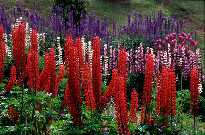 Colorful lupines in Ushuaia
