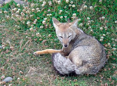 07 fox