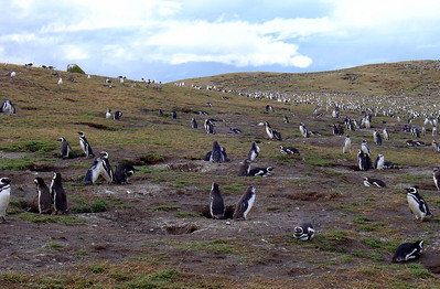 From Punta Arenas, we went to Isla Magdalena to see amusing Magellanic penguins (also called Jackass penguins for their characteristic bray). That island has an estimated 150,000 penguins.