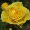 Portland's Rose garden...