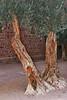 St catherine OldTrees_006