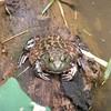 Bull frog<br /> <br /> Óriás béka