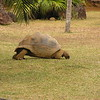 Tortoise is grazing<br /> <br /> Legel a teknõc