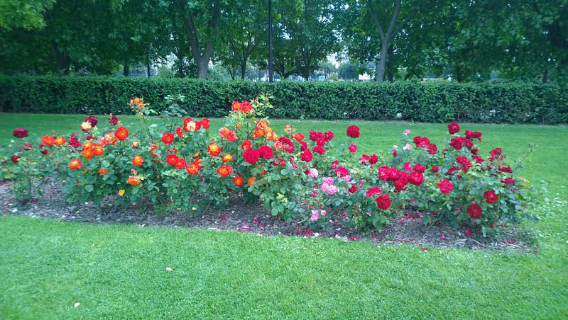 Roses Along the Rue de l'Australie