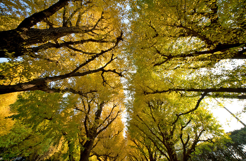 Ginko Trees, Tokyo, Japan