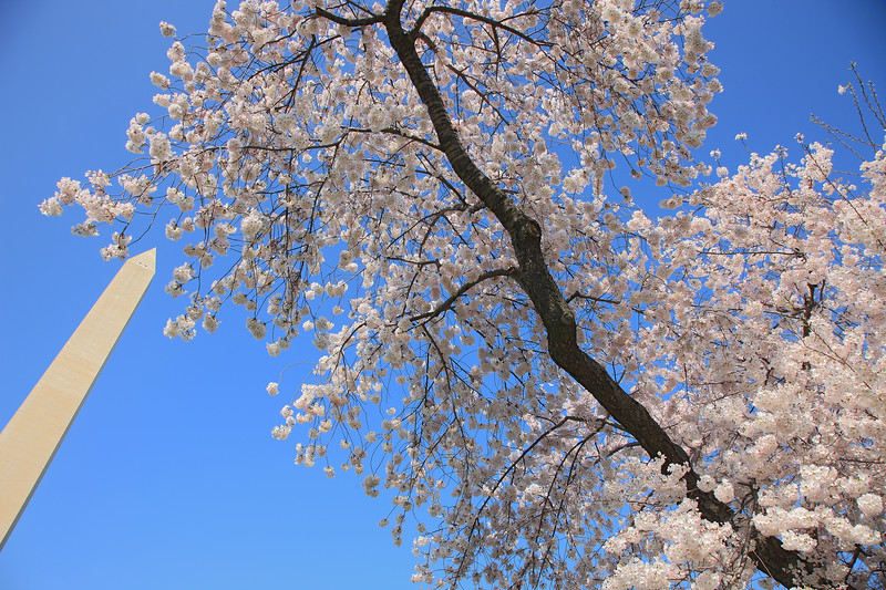 Cherry Blossoms, Tidal Basin, Washington Monument, Washington DC