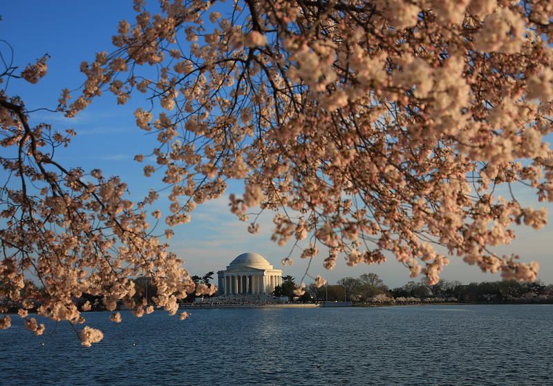 Cherry Blossoms, Tidal Basin, Jefferson Memorial, Washington DC
