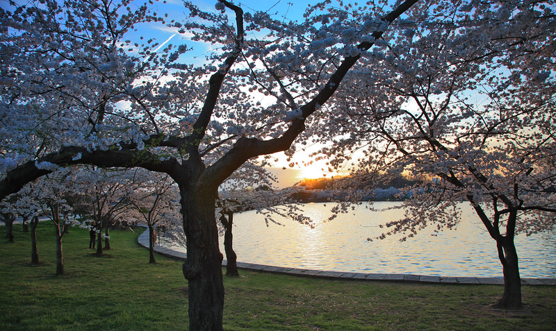 Cherry Blossoms, Tidal Basin, Jefferson Memorial,People, Washington DC