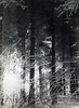 Sun coming up in snow covered woods at Bertrix, Belgium, Jan '45  Ardennes Forrest
