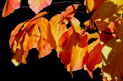 Flame Leaves