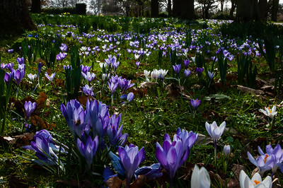 Crocus Wood