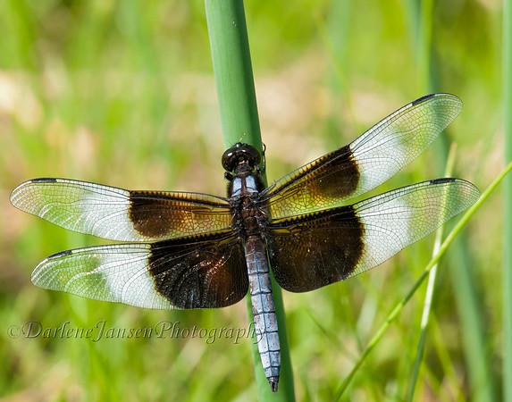 Widow Skimmer-Male