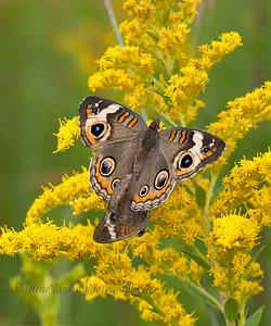 Common Buckeye Mating