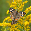 Common Buckeye<br /> Mating