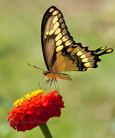 Giant Swallowtail on Zinnia