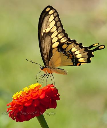 Giant Swallowtail on Zinnia