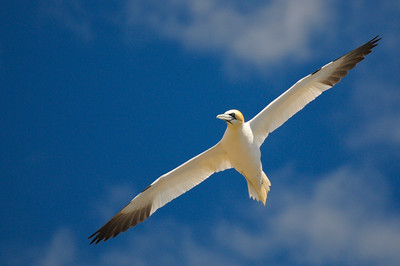 Graceful Gannet