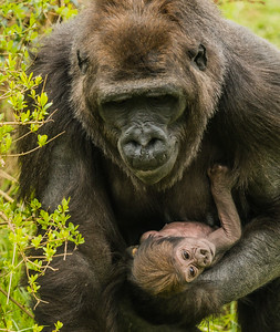 Gorilla Kavi And Baby