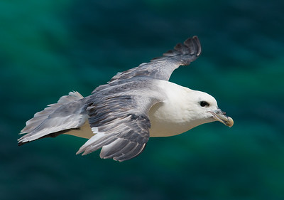 Fulmar Flight