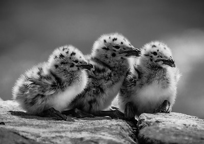 Gull Chicks