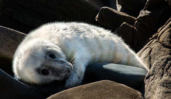 White Seal Pup